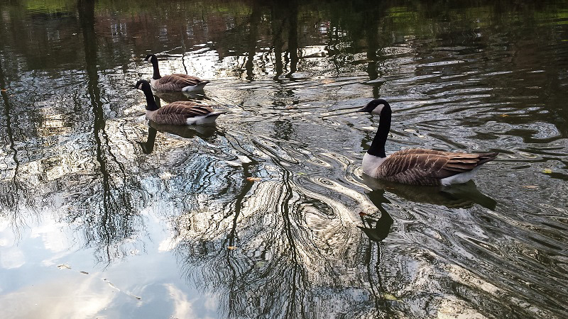 Canada geese on canal